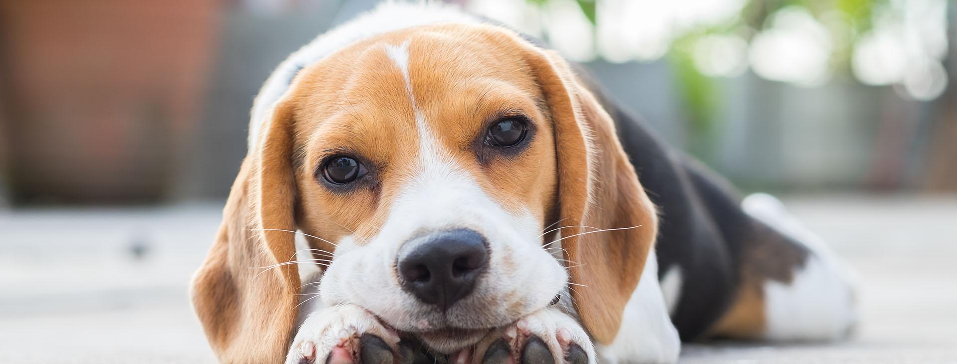 beagle puppy laying on ground