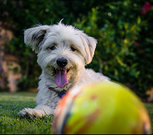 dog in grass playing with ball