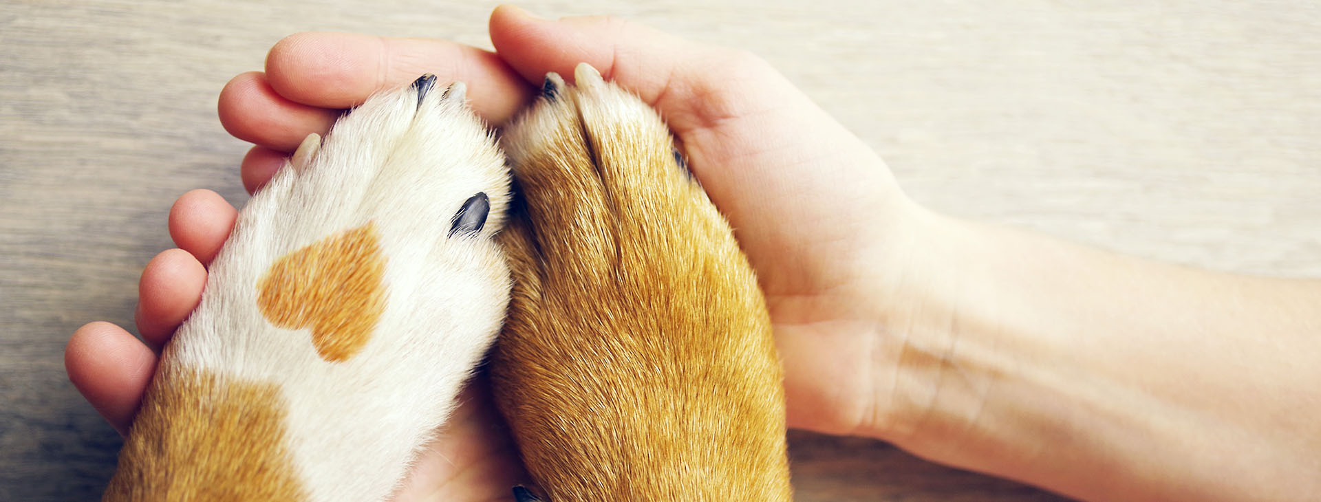 human hands holding dog paws with heart on fur