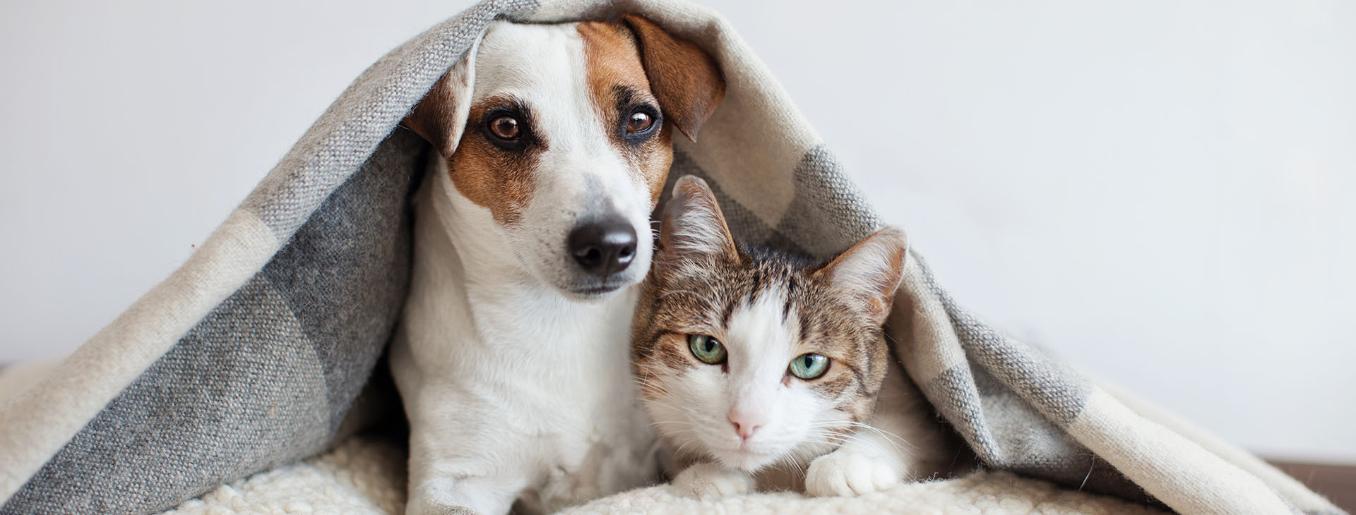 jack russel and cat underneath blanket on couch