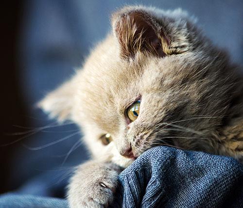 kitten on owners shoulder