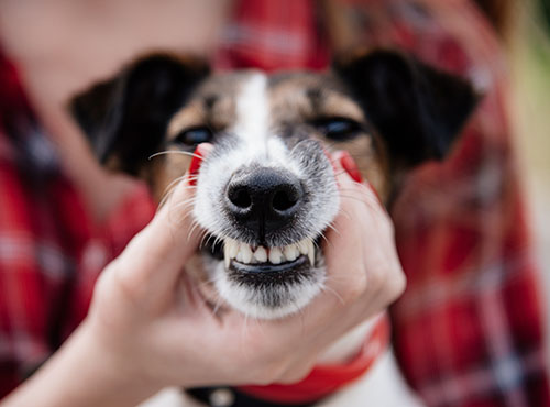 owner holding dogs mouth for showing teeth